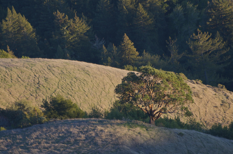 "The ""Lone Madrone"" from the Vista Point, shortly before sunset"