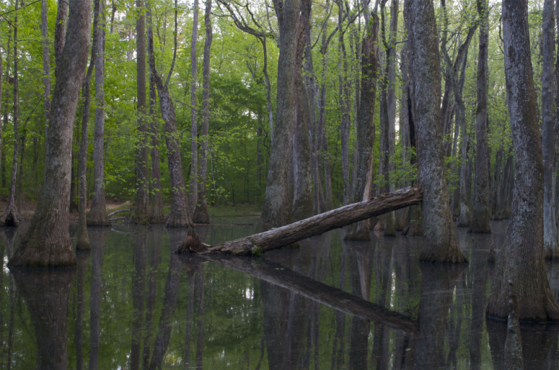 Cypress Swamp, Mississippi