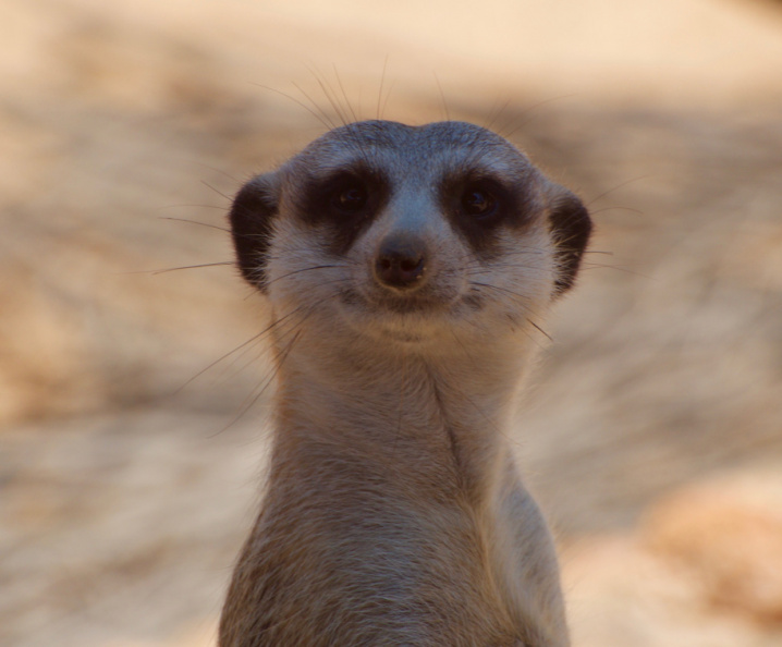 Meerkat, Western Plains Zoo, Dubbo, New South Wales
