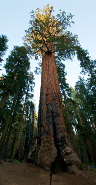 Lincoln Tree - the 4th largest tree in the world