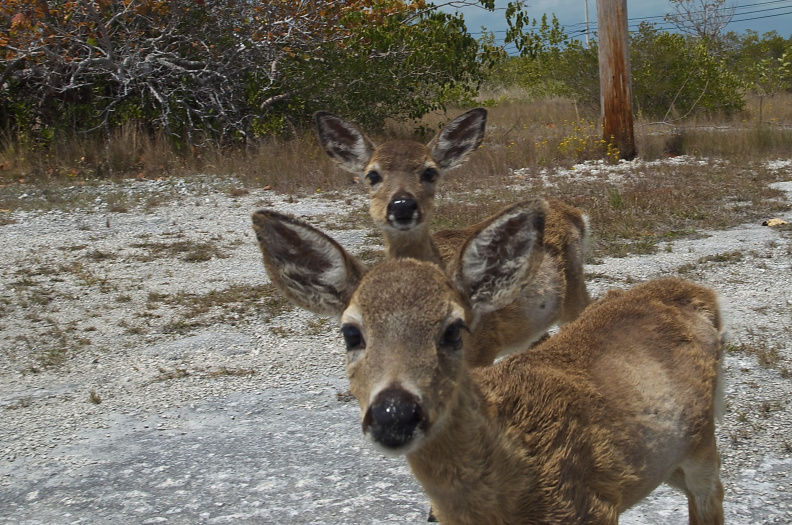 """Key Deer"", Big Pine Key"