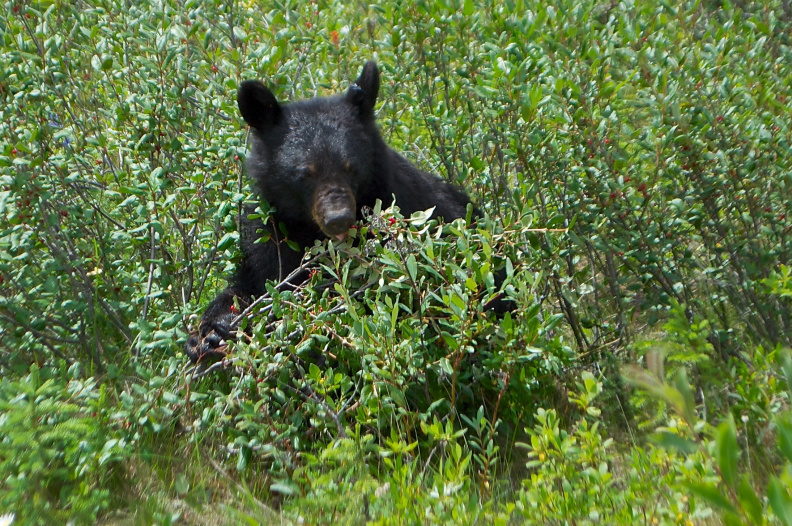 Black bear feasting on berries, Jasper National Park, Alberta